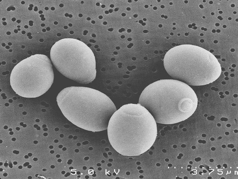 microscopic saccharomyces boulardii