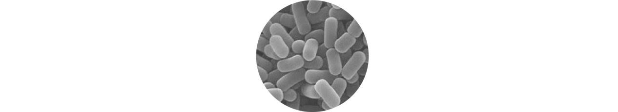 microscopic Lactobacillus plantarum LP299v