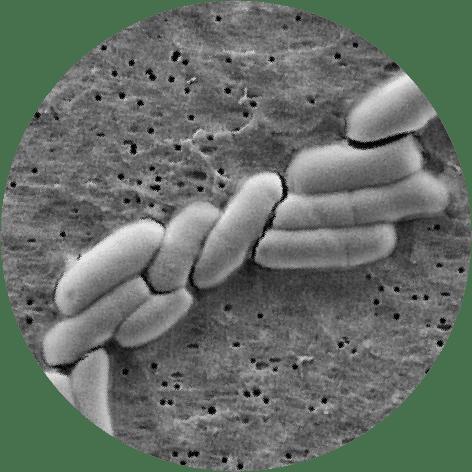 microscopic Bifidobacterium lactis BB-12