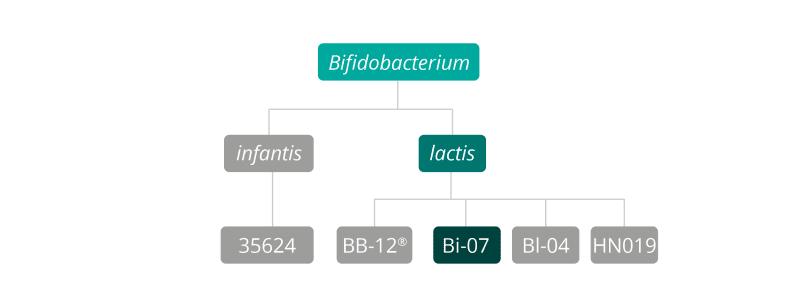 B lactis Bi-07 strain family
