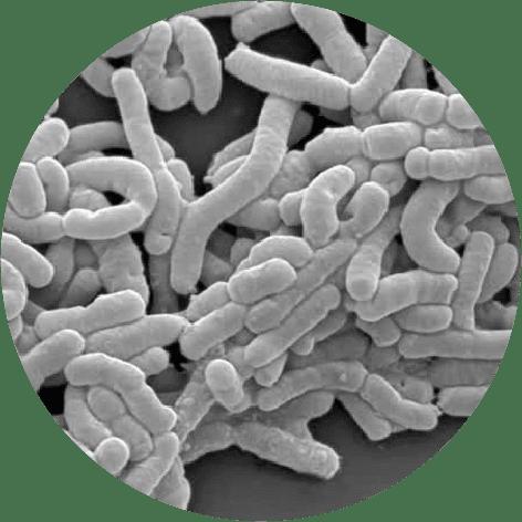 microscopic Lactobacillus casei DN-114001