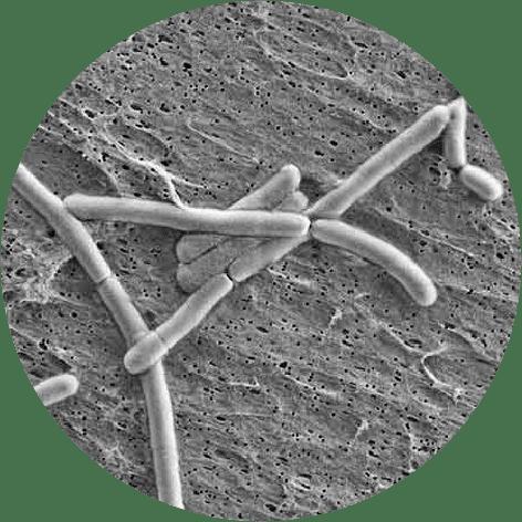 microscopic Lactobacillus rhamnosus GG