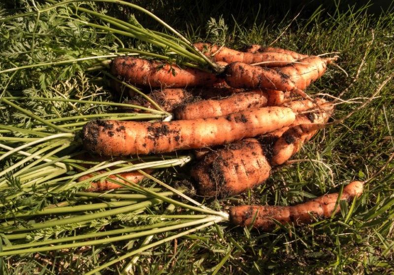 Carrots fresh from the soil