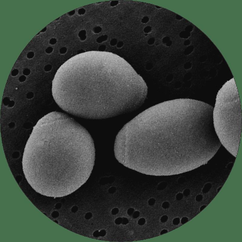 microscopic saccararomyces boulardii
