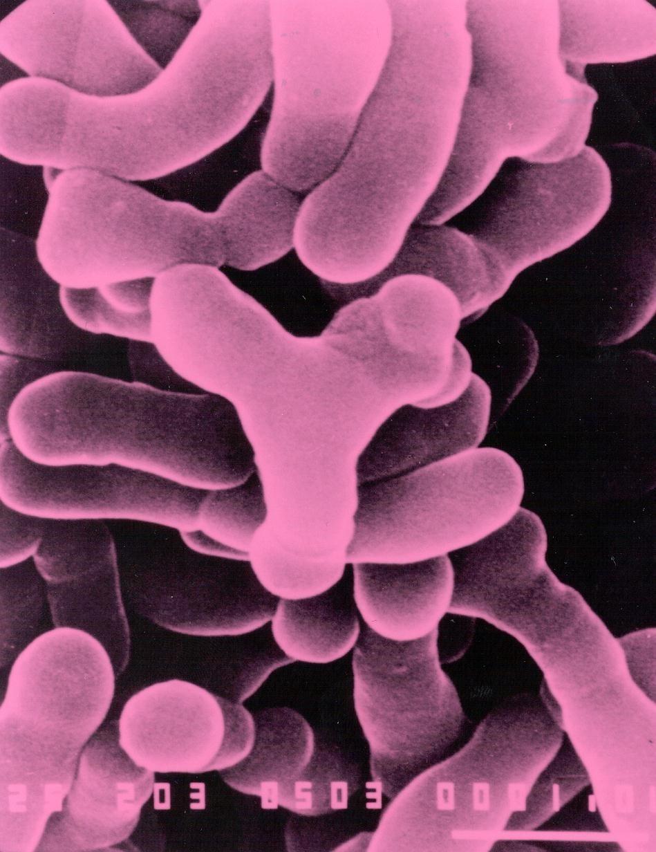Microscopic image probiotic strain