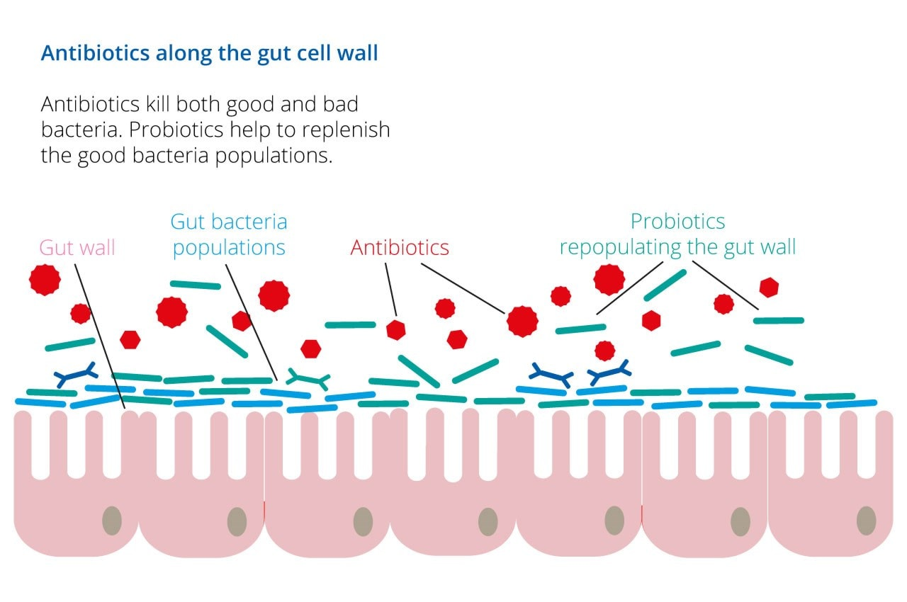 probiotics with antibiotics infographic