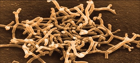 microscopic gut bacteria