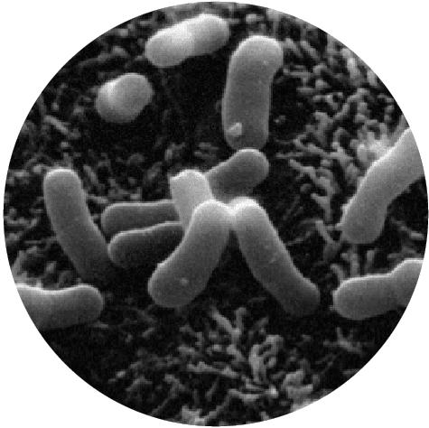 microscopic Bifidobacterium lactis HN019