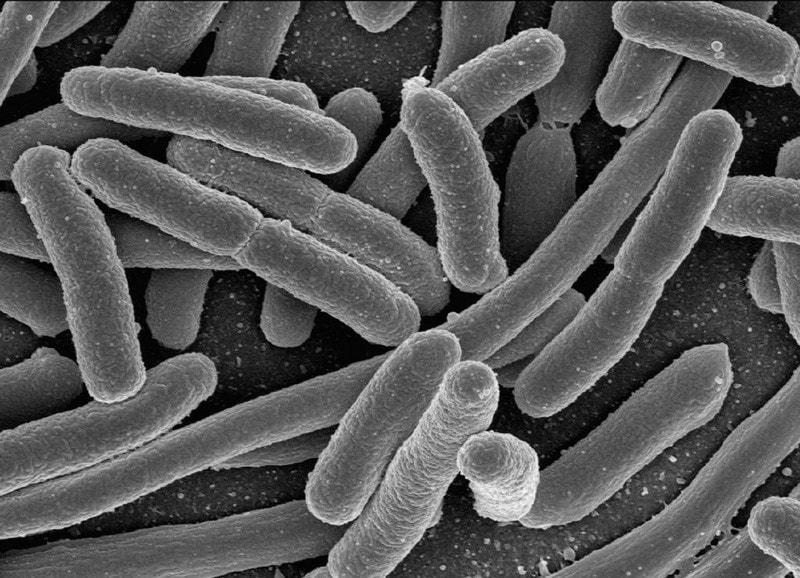 microscopic Lactobacillus acidophilus NCFM