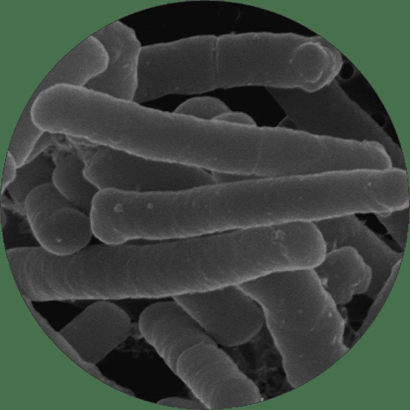 microscopic Lactobacillus acidophilus Rosell-52