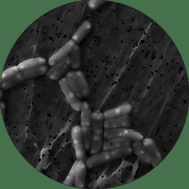 microscopic Lactobacillus paracasei CASEI 431