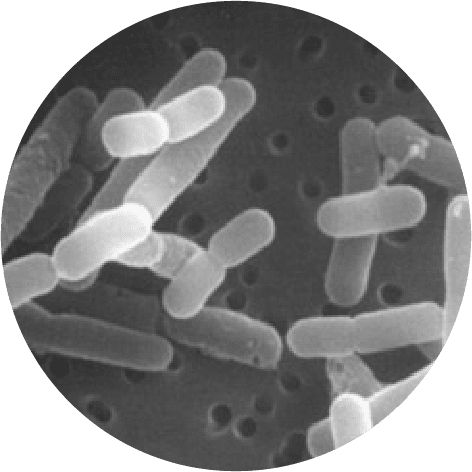 microscopic Lactobacillus reuteri Protectis